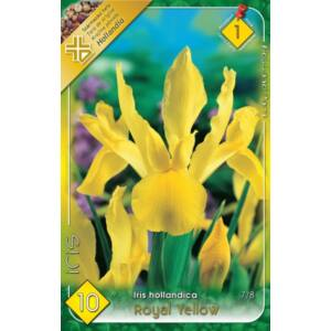 Iris hollandica 'Royal Yellow' - Holland írisz (sárga)