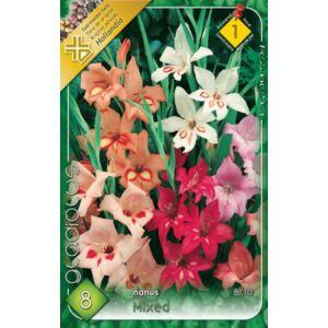 Kardvirág – Gladiolus kisvirágú színkeverék