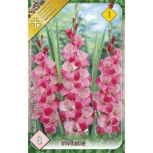 Kardvirág – Gladiolus 'Invitate' (világos/sötét rózsaszín)