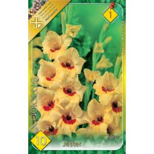 Kardvirág – Gladiolus 'Jester' (sárga, piros torokkal)