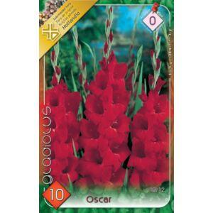 Kardvirág – Gladiolus 'Oscar' (bordó)