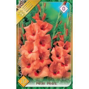 Kardvirág – Gladiolus 'Peter Pears' (narancssárga)