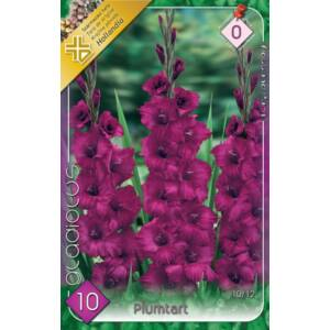 Kardvirág – Gladiolus 'Plumtart' (sötétlila)