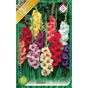 Kardvirág – Gladiolus nagyvirágú színkeverék