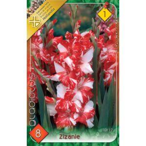 Kardvirág – Gladiolus 'Zizanie' (piros/fehér csíkos)