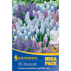 Mega-Pack – Muscari teltvirágú gyöngyike fajták