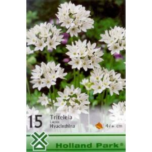 Triteleia lactea 'Hyacinthina' - Vajszínű csillaghagyma