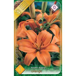Lilium Asiatic orange - Ázsiai liliom (narancssárga)