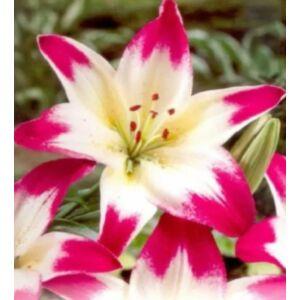 Lilium Asiatic pink-white - Ázsiai liliom (rózaszín/fehér)