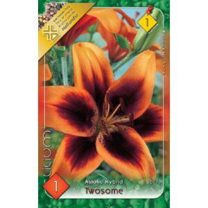 Lilium 'Twosome' - Ázsiai liliom (sötétbordó/narancssárga)