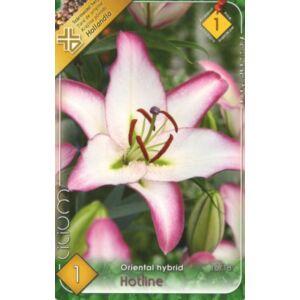 Lilium 'Hotline' - Orientál liliom (fehér, ciklámen széllel)