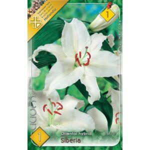 Lilium 'Siberia' - Orientál liliom (fehér)