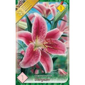 Lilium 'Stargazer' - Orientál liliom (rózsaszín, fehér széllel)
