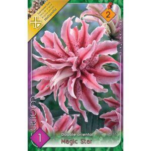 Lilium 'Magic Star' - Teltvirágú orientál liliom (rózsaszín csíkos)