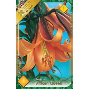 Lilium 'African Queen' - Trombitavirágú liliom (narancssárga)