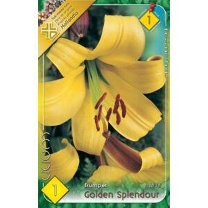 Lilium 'Golden Splendour' - Trombitavirágú liliom (sárga)