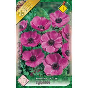 Anemone de Caen 'Sylphide' - Koronás szellőrózsa (rózsaszín)