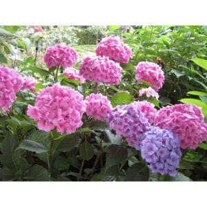 Hydrangea macrophylla 'Bouqet Rose' - Rózsaszín virágú kerti hortenzia
