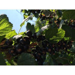 Ribes nigrum 'Aranka' - Fekete ribizli