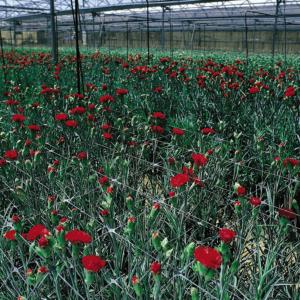 Növénytartó háló PP (Sz-120/12) - TRELLINET (színtelen)