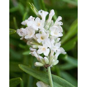 Lavandula angustifolia 'Artic Snow' - Fehér közönséges levendulaLavandula angustifolia 'Arctic Snow' - Fehér közönséges levendula