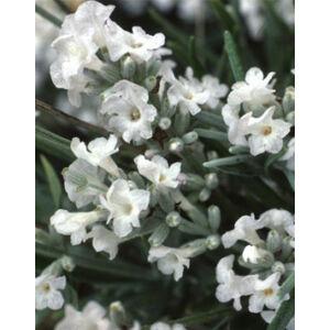 Lavandula angustifolia 'Nana alba' - Fehér közönséges levendula