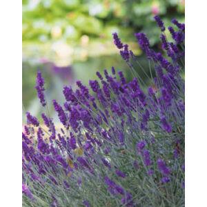 Lavandula angustifolia 'Beate' - Sötét liláskék közönséges levendula