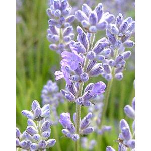 Lavandula angustifolia 'Blue Cushion' - Liláskék közönséges levendula