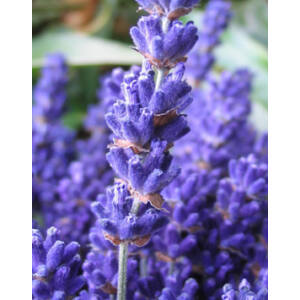 Lavandula angustifolia 'Cedar Blue' - Halvány liláskék közönséges levendula