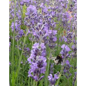 Lavandula angustifolia 'Dwarf  Blue' - Halvány liláskék közönséges levendula