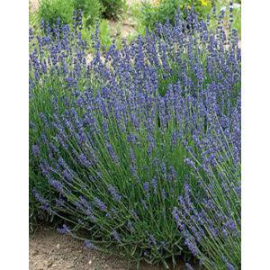 Lavandula angustifolia 'Essence Purple' - Sötét liláskék közönséges levendula