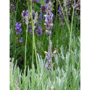 Lavandula x intermedia 'Grappenhall' - Halványkék provánszi levendula