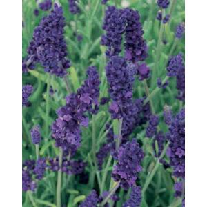 Lavandula angustifolia 'Hidcote Blue' - Sötét liláskék közönséges levendula