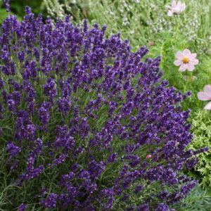 Lavandula angustifolia 'Bleu Gien' – Levendula