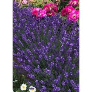 Lavandula angustifolia 'Blue Jeans' – Angol levendula