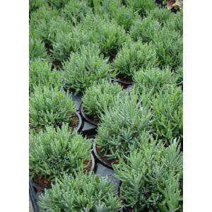 Lavandula angustifolia 'Hidcote Blue Compact' - Sötétkék közönséges levendula