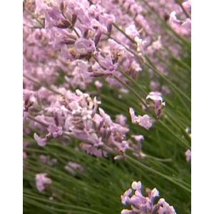 Lavandula angustifolia 'Hidcote Pink' – Halvány rózsaszín közönséges levendula