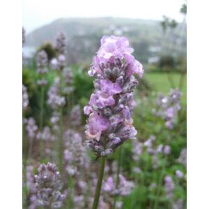 Lavandula angustifolia 'Miss Katherine' - Rózsaszín  közönséges levendula