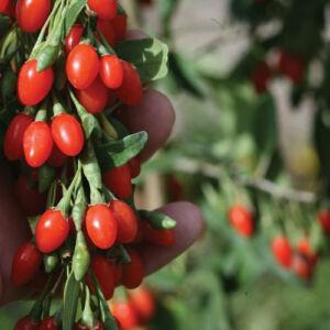Lycium barbarum 'Big Lifeberry' - Big Lifeberry goji-bogyó