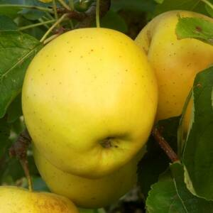 'Golden Delicious' alma
