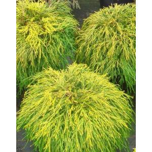 Chamaecyparis pisifera 'Sungold' – Aranyszínű, szavára hamisciprus
