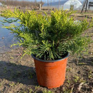 Juniperus chinensis 'Armstrong Gold' – Kínai boróka