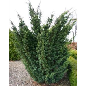 Juniperus chinensis 'Blauw' – Kínai boróka