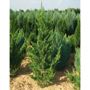 Juniperus chinensis 'Keteleeri' - Keskeny kínai jegenyeboróka