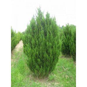 Juniperus chinensis 'Spartan' - Piramis alakú kínai boróka