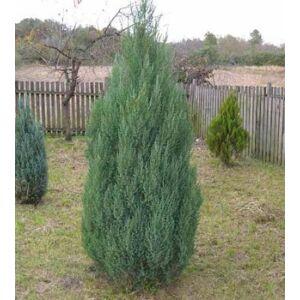 Juniperus chinensis 'Stricta' - Kínai boróka