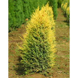 Juniperus communis 'Gold Cone' – Arany ír boróka