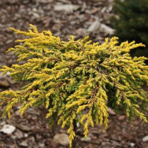 Juniperus communis 'Goldschatz' – Aranysárga terülő boróka