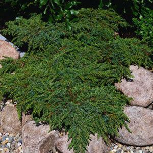 Juniperus communis 'Green Carpet' – Terülő közönséges boróka