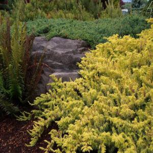 Juniperus conferta 'All Gold' – Aranylombú terülő fövenyboróka